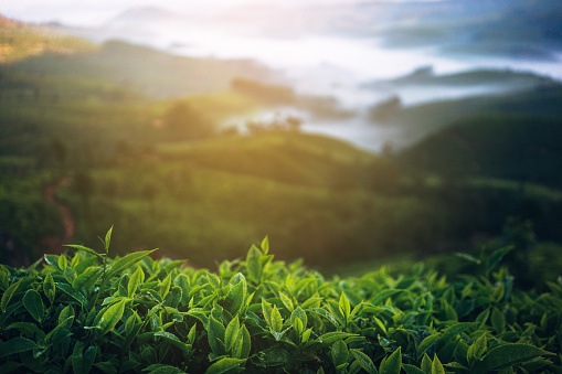 Fog「Tea plantation in India」:スマホ壁紙(4)