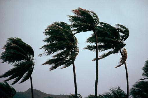 French Overseas Territory「Typhoon Winds Blowing Coastal Palms」:スマホ壁紙(7)