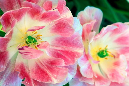 チューリップ「Two Pink and White Tulips」:スマホ壁紙(15)