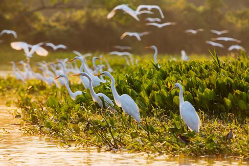 Flock Of Birds「A congregation of great egrets in a marsh」:スマホ壁紙(9)