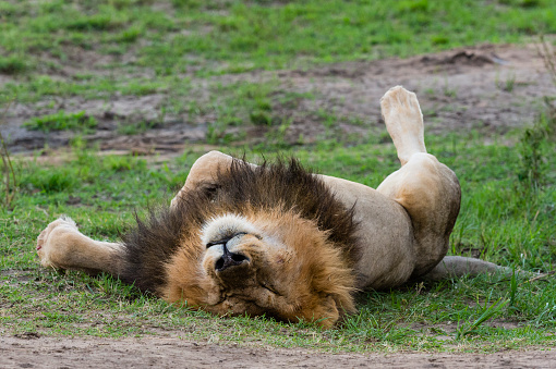 Eco Tourism「Lion napping after eating a zebra, male animal, Africa」:スマホ壁紙(11)