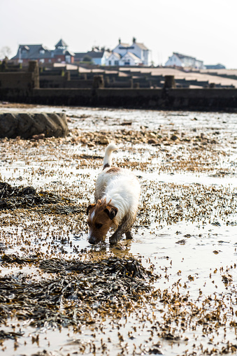 Tousled Hair「Jack Russell Puppy Plays On The Pebbly Beach At Whitstable In Kent」:スマホ壁紙(14)