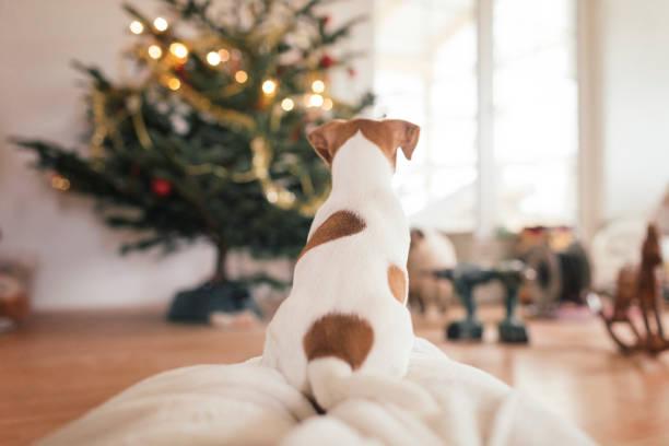 Jack Russel Terrier sitting in front of Christmas tree:スマホ壁紙(壁紙.com)