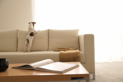犬「Jack Russell Terrier on Sofa」:スマホ壁紙(10)