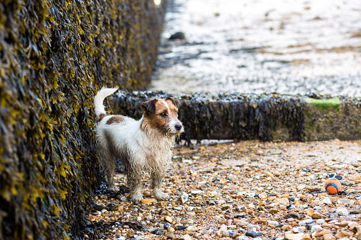 Algae「Jack Russell Stands On The Pebbly Beach At Whitstable In Kent」:スマホ壁紙(11)