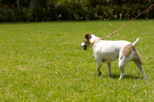 Walking「Jack russell terrier walking on its lead, rear view」:スマホ壁紙(2)