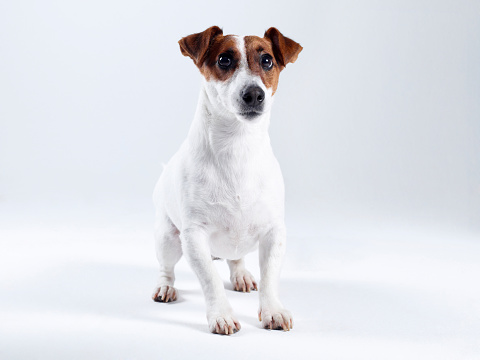 Worried「Jack Russell Terrier (Click for more)」:スマホ壁紙(11)