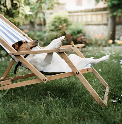 Deck Chair「Jack Russell terrier dog lying on back in deck chair in garden」:スマホ壁紙(7)