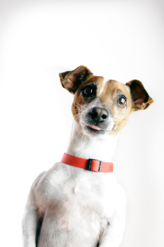 Making A Face「Jack Russell Terrier Dog begging with tongue sticking out」:スマホ壁紙(19)