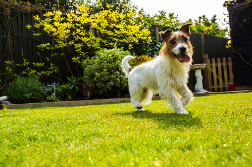 Carefree「A Jack Russell Puppy Playing In Garden」:スマホ壁紙(16)