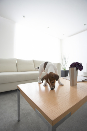 Animal Themes「Jack Russell Terrier on Coffee Table」:スマホ壁紙(3)
