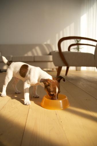 Feeding「Jack Russell Terrier Eating」:スマホ壁紙(11)