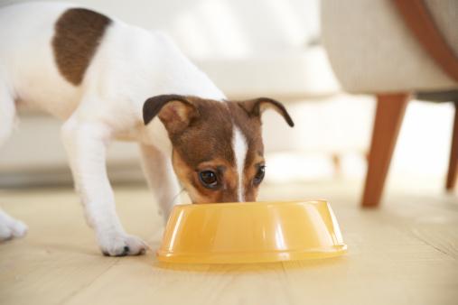 Eating「Jack Russell Terrier Eating」:スマホ壁紙(4)