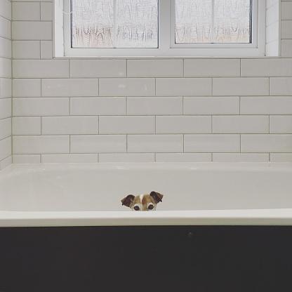 Animal Ear「Jack Russell Terrier in a bathtub, ready to take a bath」:スマホ壁紙(12)