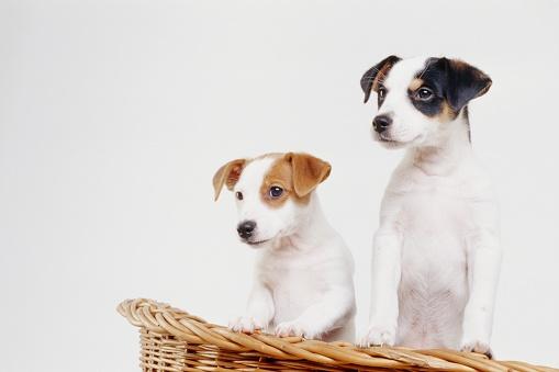 Staring「Jack Russell Terrier puppies in basket」:スマホ壁紙(19)