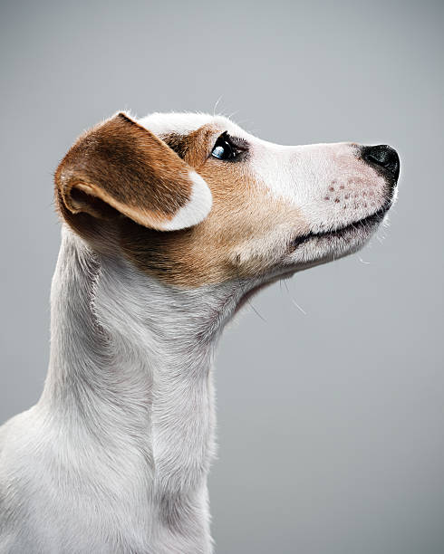 Jack Russell paying attention:スマホ壁紙(壁紙.com)