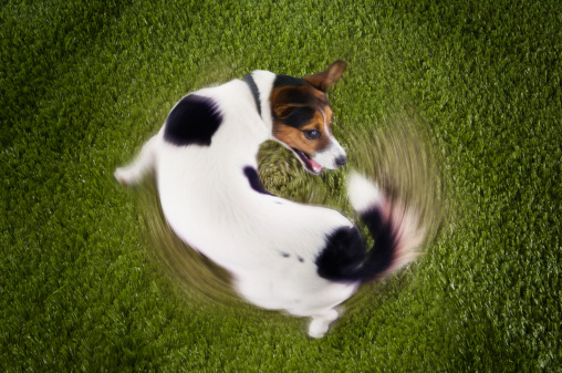 Tail「Jack Russell Terrier Chasing Own Tail」:スマホ壁紙(14)