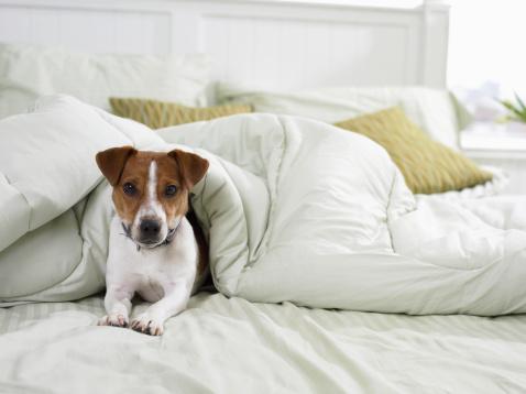 Duvet「Jack Russell Lying Under a Duvet on a Bed」:スマホ壁紙(10)