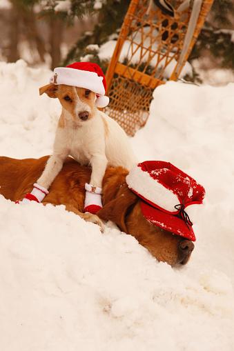雪の吹きだまり「Jack Russell Terrier In Christmas Hat Sits On Rusty Lab」:スマホ壁紙(16)