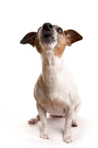 Whistling「Jack Russell Terrier Howling」:スマホ壁紙(0)