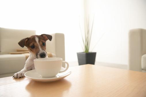 擬人化「Jack Russell Terrier at Coffee Table」:スマホ壁紙(18)