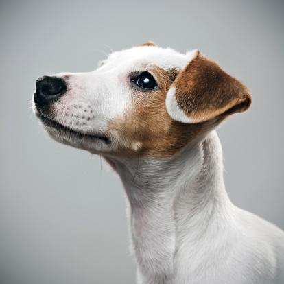 White Hair「Jack Russell puppy portrait」:スマホ壁紙(17)