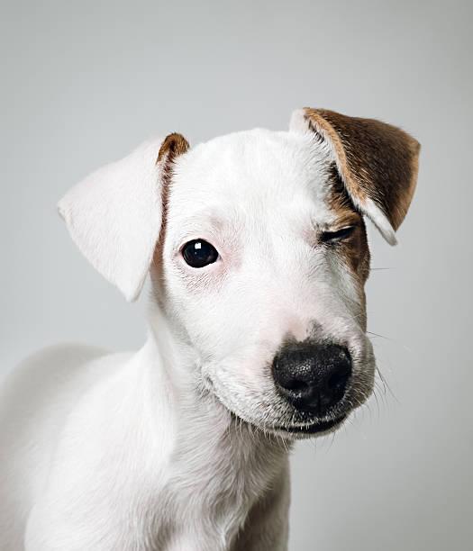 Jack Russell puppy portrait:スマホ壁紙(壁紙.com)