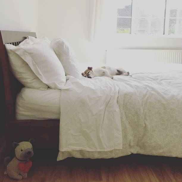 Jack Russell Terrier dog sleeping on a double bed in bedroom:スマホ壁紙(壁紙.com)