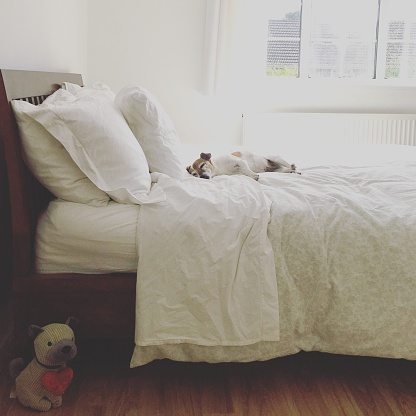 Duvet「Jack Russell Terrier dog sleeping on a double bed in bedroom」:スマホ壁紙(1)