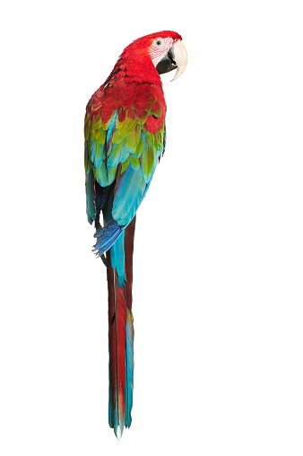 Bird「Red-and-green Macaw」:スマホ壁紙(12)