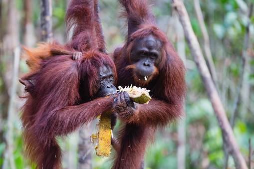 Eating「A pair of orangutans sharing food」:スマホ壁紙(8)