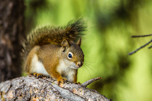 Squirrel「American Red Tree Squirrel perching on Branch in Flagg Ranch, Grand Teton National Park, Wyoming, USA」:スマホ壁紙(7)