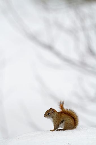 Squirrel「American red squirrel」:スマホ壁紙(14)