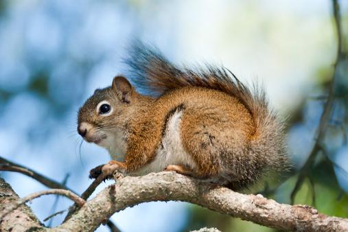 Squirrel「American Red Squirrel on Branch」:スマホ壁紙(13)