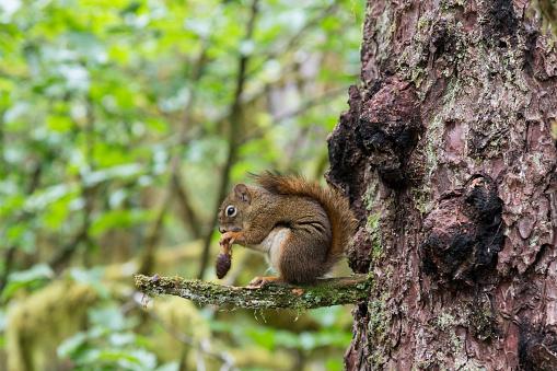 リス「American Red Squirrel (Tamiasciurus hudsonicus) eating seeds from pinecone on branch in Glacier Bay National Park, Alaska, USA」:スマホ壁紙(3)