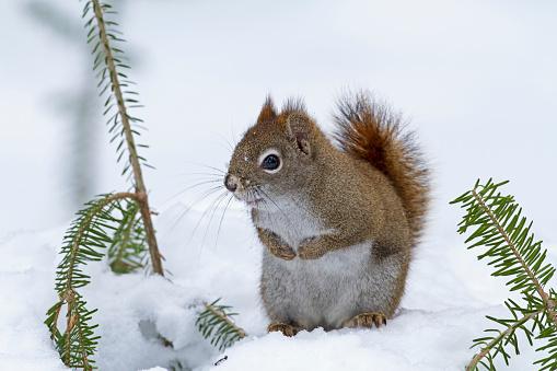 リス「American red squirrel in snow」:スマホ壁紙(2)
