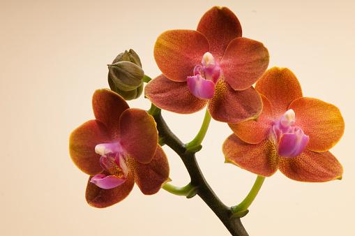 Inflorescence「Phalaenopsis Orchid Tying Shin Forever Love 'Little Sun'」:スマホ壁紙(10)