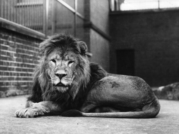 Lion - Feline「Sultan The Lion」:写真・画像(8)[壁紙.com]