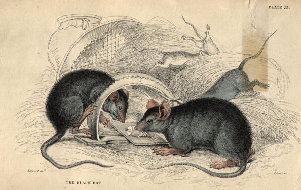 Animal Themes「Rat Trap」:写真・画像(16)[壁紙.com]