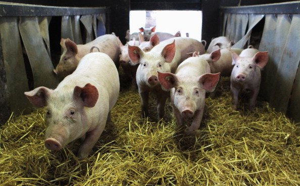Pig「Organic Farms Likely To Benefit From Dioxin Scandal」:写真・画像(8)[壁紙.com]