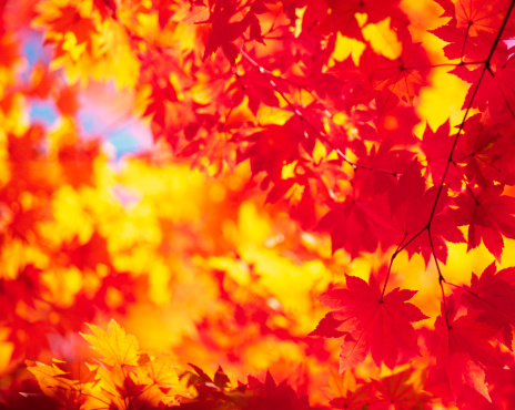Japanese Maple「Abstract Autumn Colors」:スマホ壁紙(8)