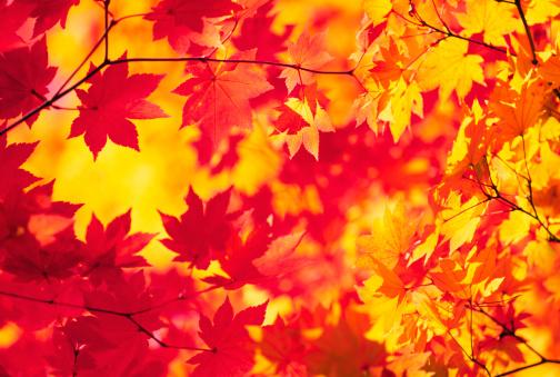 Japanese Maple「Abstract Autumn Colors」:スマホ壁紙(16)