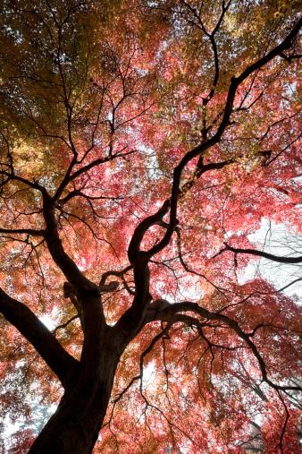Japanese Maple「Abstract Autumn Tree」:スマホ壁紙(12)