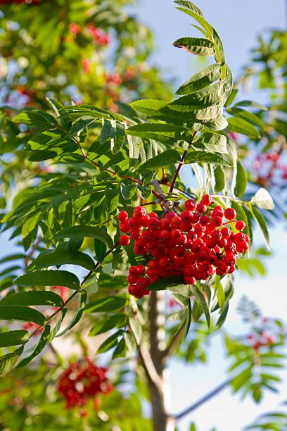 Rowan tree in berry:スマホ壁紙(壁紙.com)