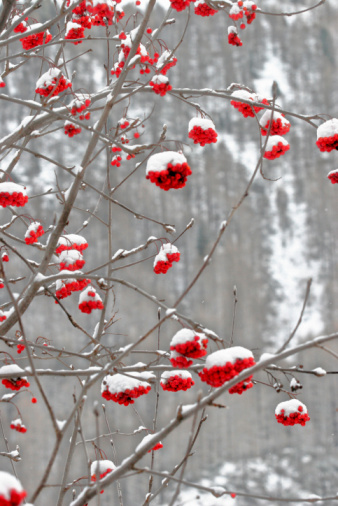 Rowanberry「Rowan Tree in winter」:スマホ壁紙(2)