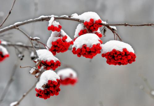 Rowanberry「Rowan Tree in winter」:スマホ壁紙(3)