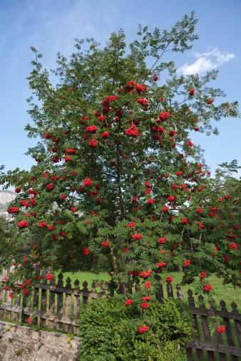 Rowanberry「rowan tree ( sorbus aucuparia )」:スマホ壁紙(9)