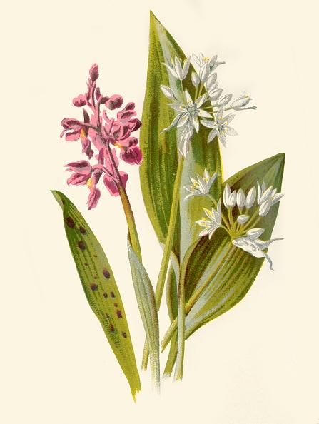 静物「Common Orchis And Broad-Leafed Garlic」:写真・画像(0)[壁紙.com]