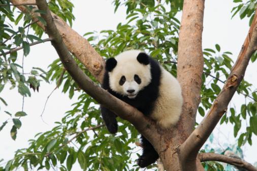 Panda「Giant Panda (Ailuropoda melanoleuca) lying on tree branch」:スマホ壁紙(18)