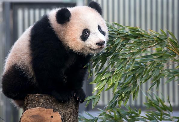 Mammal「Visitors Flock As Giant Panda Cub Xiang Xiang Goes Open To General Public」:写真・画像(7)[壁紙.com]